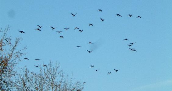 kormorani (8)